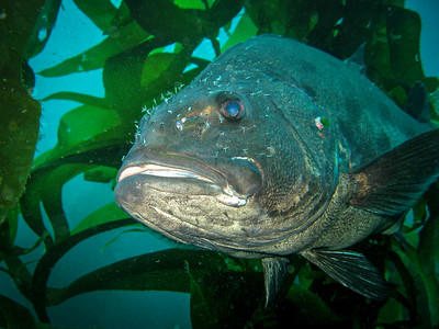 Giant Sea Bass (Stereolepis gigas), La Jolla, CA