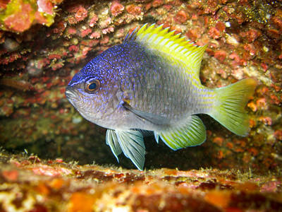 Blue-and-Yellow Chromis