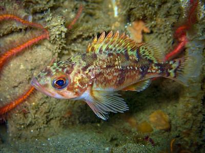 Juvenile Stripetail Rockfish (Sebastes saxicola), La Jolla, CA