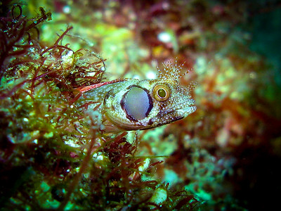 Brown Cheek Blenny, Bahia De Los Angeles, Mexico