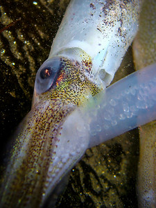 Squid with egg sac, La Jolla, CA