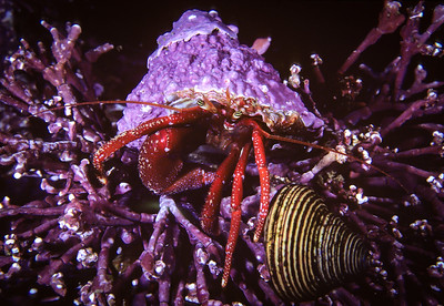 Hermit crab in Turban shell with Top Snail, Monterey, CA