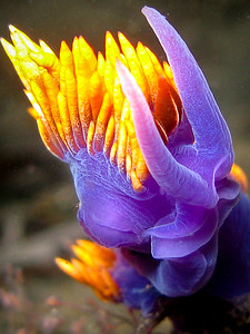 Spanish Shawl Nudibranch, La Jolla, CA
