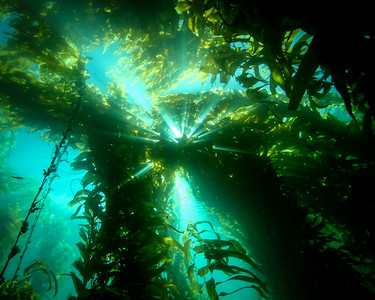 Kelp Forest, Catalina Island, CA