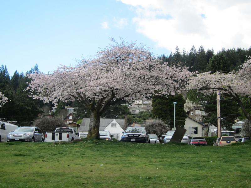 Cherries blossom