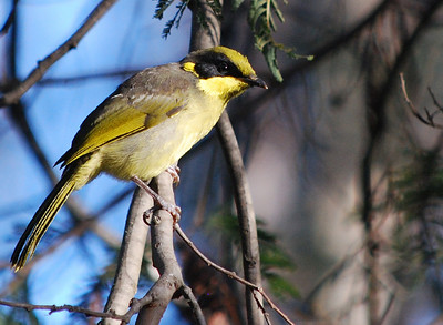 Yellow-ufted Honeyeater
