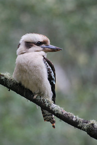 Laughing Kookaburra  Murrundindi National Park   Hover over the photo and press the blue info icon for camera settings.