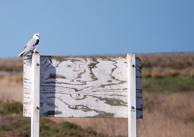 Black Shouldered Kite  Western Treatment Plant   Hover over the photo and press the blue info icon for camera settings.