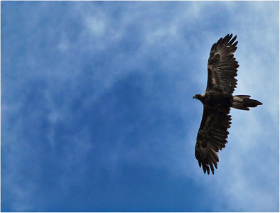 Wedge Tailed Eagle  Tasmania   Hover over the photo and press the blue info icon for camera settings.