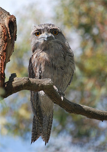 Tawny Frogmouth  Werribee River   Hover over the photo and press the blue info icon for camera settings.