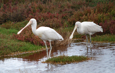 Yellow Billed Spoonbills