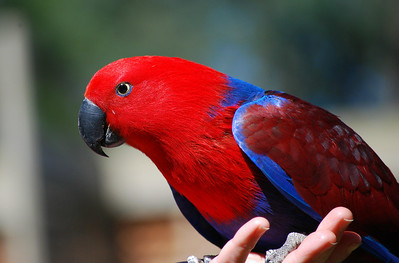 Male Eclectus Parrot  Healseville Sanctuary   Hover over the photo and press the blue info icon for camera settings.