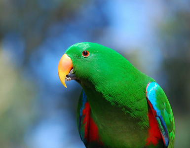 Female Eclectus Parrot  Healseville Sanctuary   Hover over the photo and press the blue info icon for camera settings.