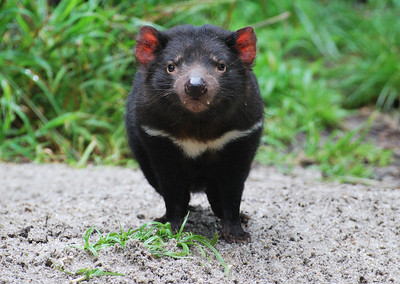 Tasmanian Devil  Healseville Sanctuary   Hover over the photo and press the blue info icon for camera settings.