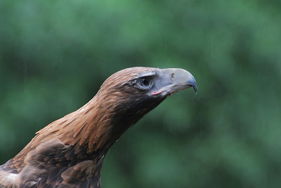 Wedge-Tailed Eagle  Healseville Sanctuary   Hover over the photo and press the blue info icon for camera settings.
