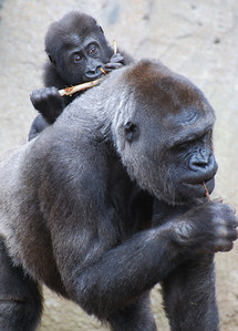 Lowland Gorilla and Baby  Taronga Zoo   Hover over the photo and press the blue info icon for camera settings.