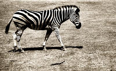 """Striped""  Taken at Werribee Zoo."