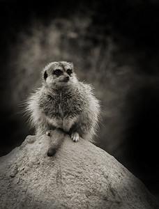 """""""Wondering""""  Taken at Werribee Zoo."""