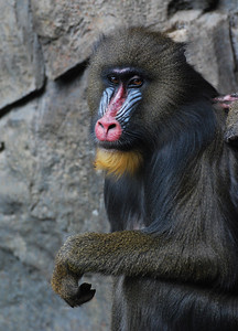 Mandrill  Melbourne Zoo   Hover over the photo and press the blue info icon for camera settings.