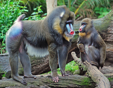 Mandrills  Melbourne Zoo   Hover over the photo and press the blue info icon for camera settings.
