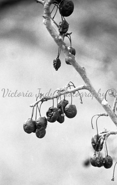 Dead Berries in The Woods - 2004