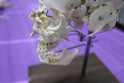 Dental hygiene skull mouth