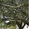 """July 3, 2015<br /> <br /> Trees with Spanish Moss in front of Fitzhugh Hall<br /> <br /> """"Fitzhugh Hall, named for the first President of Belhaven University, Dr. Louis Fitzhugh (1884-1904), was originally part of the first building constructed at the present university site. A fire in 1927 gutted the main section of the building, leaving two wings which became Preston and Fitzhugh Hall. For over 100 years, students have lived and learned in Fitzhugh Hall. It has housed everything from residence hall rooms, academic classrooms to technology equipment, athletic offices and a coffee shop.""""<br /> <br /> """"The School of Science and Mathematics is now located in the east wing of Fitzhugh Hall and includes tech-savvy classrooms, labs and faculty offices. The science facilities are capable of accommodating students with a variety of physical disabilities as well as environmentally conscious. Belhaven University Relations and Web Services are located on the west wing of the first floor with the academic Department of Communications. The Office of Alumni and Development and Mathematics Department hold a majority of the offices and classrooms in Fitzhugh's west wing as well."""" ~ Reprinted text from here:<br /> <br /> <a href=""""http://www.belhaven.edu/tour/fitzhugh.htm"""">http://www.belhaven.edu/tour/fitzhugh.htm</a><br /> <br />  """"BELHAVEN UNIVERSITY"""" 2015<br />  1500 Peachtree Street<br />  Jackson, MS<br />  Official website: <a href=""""http://www.belhaven.edu"""">http://www.belhaven.edu</a>"""