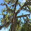 """July 2015<br /> <br /> """"TREES WITH SPANISH MOSS""""<br /> <br /> """"Tougaloo College is a private, co-educational, historically black, liberal arts institution of higher education founded in 1869, in Madison County, north of Jackson, Mississippi, USA. Originally established by New York–based Christian missionaries for the education of freed slaves and their offspring, from 1871 until 1892 the college served as a teachers' training school funded by the state of Mississippi. In 1998 the buildings of the old campus were added to the National Register of Historic Places."""" <br /> <br /> Additionally, """"Tougaloo College is ranked as one of the Best in the Southeast by Princeton Review (2007 and 2008 edition) and one of the top 20 liberal arts institutions in the nation by The Washington Monthly (2007 edition). It is also included in the U.S. News and World Report's list of best colleges (2007 edition) and is ranked in the top 20 of the Best Black Colleges by U.S. News and World Report (2008 edition).""""<br /> <br /> Furthermore, """"According to the National Science Foundation, Tougaloo College ranks among the top 50 U.S. institutions whose graduates earn PhDs in science and engineering disciplines and among the top 15 historically black colleges and universities in the graduation of minority males and females with undergraduate degrees in the physical sciences. The College has produced more graduates who have completed their PhD degrees through the UNCF-Mellon Doctoral Fellowship Program than any other institution in the nation.""""<br /> <br /> ~ Reprinted text from Wikipedia here:<br /> <br /> <a href=""""https://en.wikipedia.org/wiki/Tougaloo_College"""">https://en.wikipedia.org/wiki/Tougaloo_College</a><br /> <br /> Also, Beverly Wade Hogan, a graduate of Tougaloo College, has served as President since May 2002. She is the first woman and the 13th president to lead this historic institution. Her photo is here:<br /> <br /> <a href=""""https://www.tougaloo.edu/administration/office-presiden"""