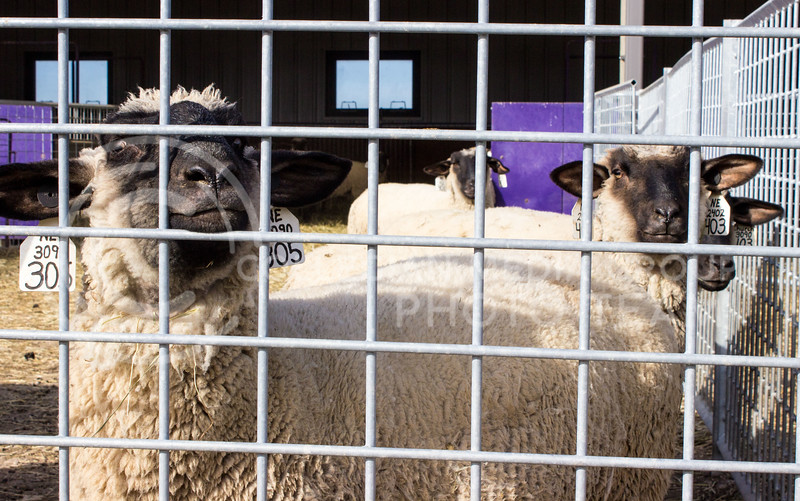 Three sheep look out from their pen at Kansas State University's Sheep and Goat facility on Feb 12, 2017. (Regan Tokos | The Collegian)