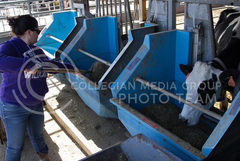 Kendra Pryor, junior in animal science, feeds one of the pregnant cows at the K-State dairy farm. These cows have highly regulated diets so they can be researched and are only allowed to eat out of their specifed food bin. (Regan Tokos   The Royal Purple)