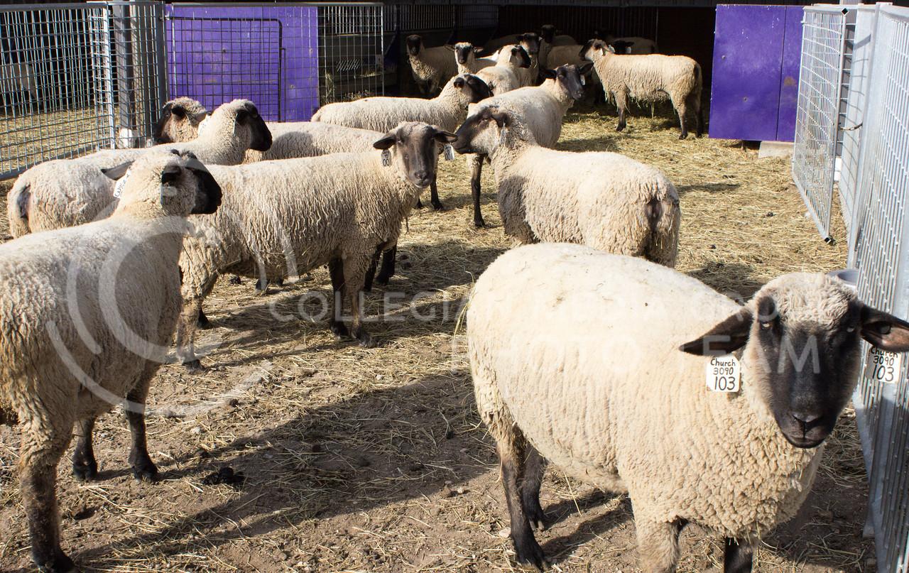 Sheep stand around at Kansas State University's Sheep and Goat facility on Feb 12, 2017. (Regan Tokos   The Collegian)