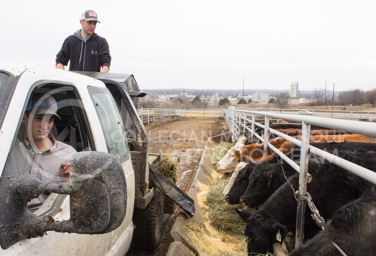 Logan Drake, senior in animal science, and Dan Johnson, senior in agribusiness, feed beef cows at K-State's Purebred Beef Teaching Unit on Feb. 20, 2017. (Regan Tokos | The Collegian)