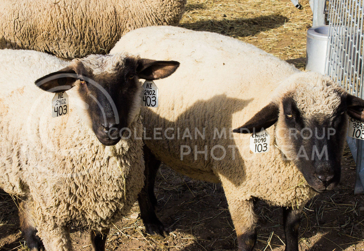 Two sheep stand in their pen at Kansas State University's Sheep and Goat facility on Feb 12, 2017. (Regan Tokos | The Collegian)
