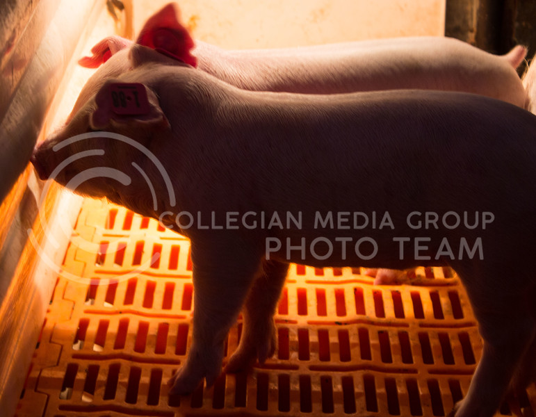 Piglets stand next to their mothers at K-State's Swine Teaching and Research Center on Feb. 27, 2017. (Regan Tokos | The Collegian)