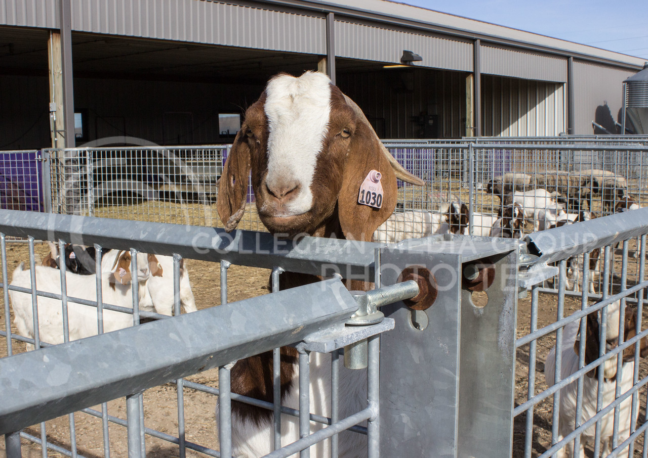 Goat number 1030 looks out from a pen at Kansas State University's Sheep and Goat facility on Feb 12, 2017. (Regan Tokos   The Collegian)