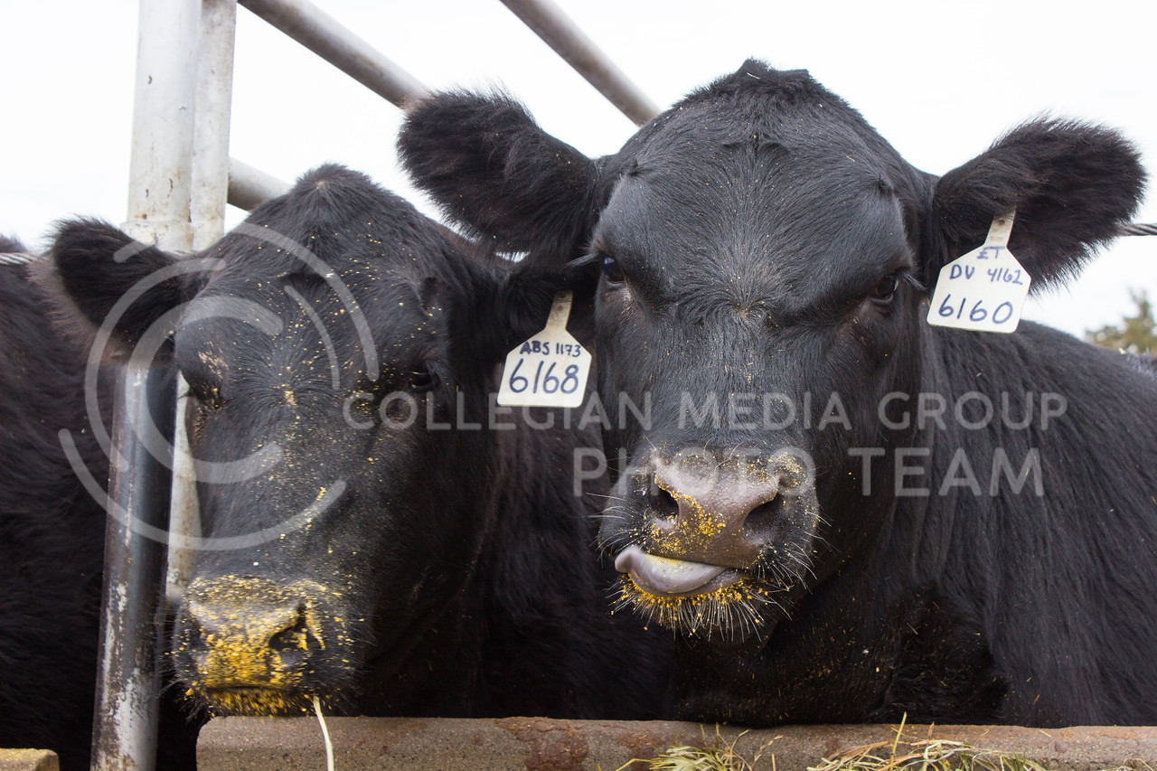 Cows at the K-State Beef Unit look up from their corn feed on Feb. 20 2017. (Regan Tokos | The Collegian)