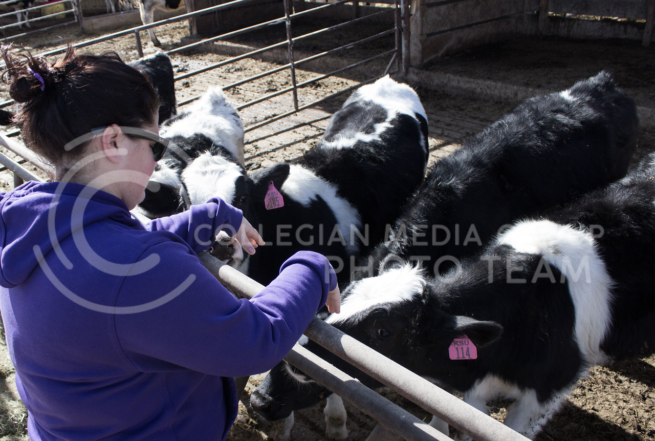 Kendra Pryor, junior in animal science, pets some of the young cows at the K-State dairy farm on Jan 29, 2017. (Regan Tokos | The Royal Purple)
