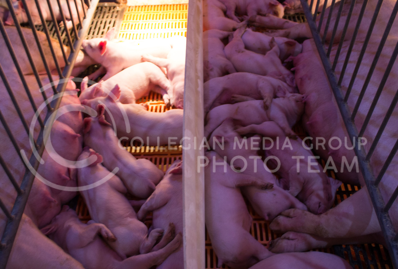 Piglets lay next to their mothers at K-State's Swine Teaching and Research Center on Feb. 27, 2017. (Regan Tokos | The Collegian)