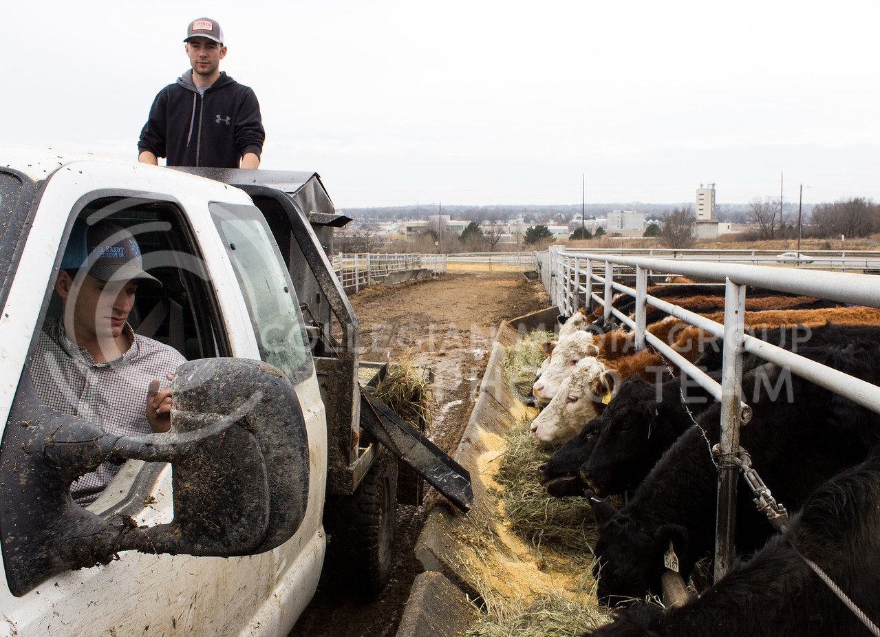 Logan Drake, senior in animal science, and Dan Johnson, senior in agribusiness, feed beef cows at K-State's Purebred Beef Teaching Unit on Feb. 20, 2017. (Regan Tokos | The Collegian)