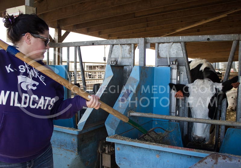 Kendra Pryor, junior in animal science, feeds one of the pregnant cows at the K-State dairy farm. These cows have highly regulated diets so they can be researched and are only allowed to eat out of their specifed food bin. (Regan Tokos | The Royal Purple)