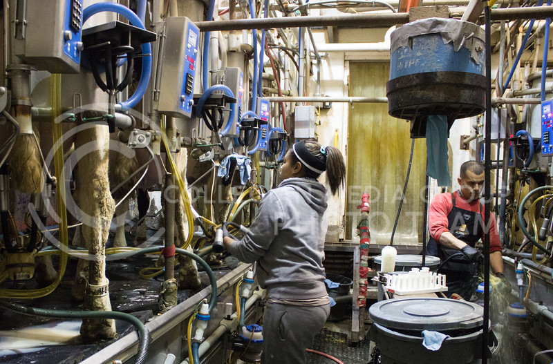 Eulises Corrales, agricultural technician, and Jocelyn Flowers, senior in animal science and industry, milk K-State dairy cows on Jan. 29, 2017. (Regan Tokos | The Royal Purple)