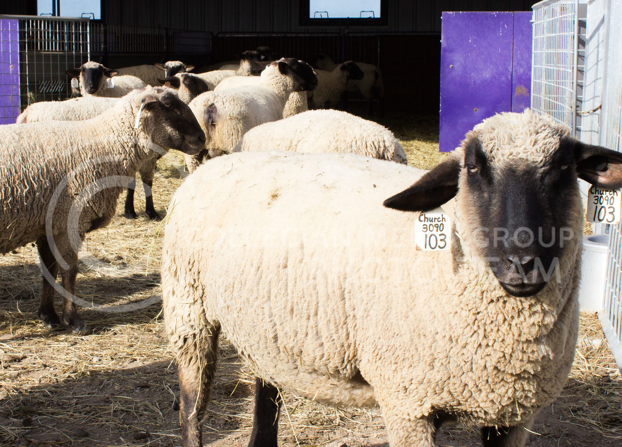 Sheep stand around at Kansas State University's Sheep and Goat facility on Feb 12, 2017. (Regan Tokos | The Collegian)