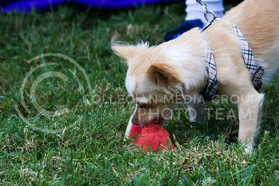 Bella eats watermelon at the College of Agriculture Annual Watermelon Feed on Aug. 30, 2016. (Payton Heinze | The Collegian)