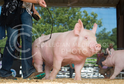 A pig is guided around the arena floor at the Riley County Fairgrounds on July 12, 2016 during the Dr. Bob Hines Swine Classic. The event brings kids from clubs like 4-H and FAA to showcase their swine projects for ribbons and awards. (Evert Nelson | The Collegian)