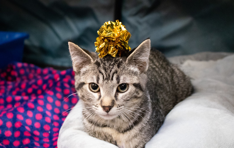 A kitten allows students to place a toy on his head. Purple Power Animal Welfare Society brought cats to the K State Student Union on December 4, 2018 to help relieve stress before finals week. (Bailey Nobrega | Collegian Media Group)