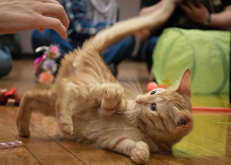 A kitten plays with a toy. Purple Power Animal Welfare Society brought cats to the K State Student Union on December 4, 2018 to help relieve stress before finals week. (Bailey Nobrega | Collegian Media Group)