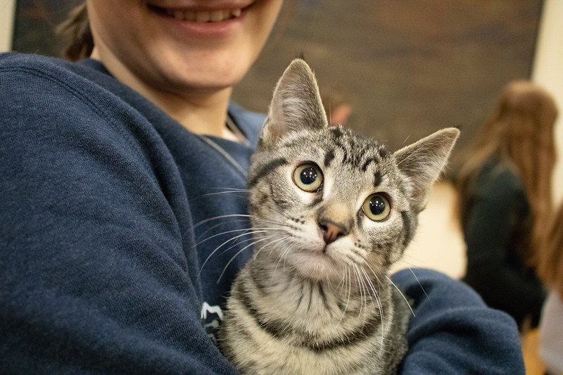 A kitten looks up while being held by a student. Purple Power Animal Welfare Society brought cats to the K State Student Union on December 4, 2018 to help relieve stress before finals week. (Bailey Nobrega | Collegian Media Group)