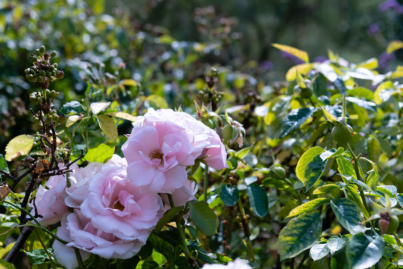 In Hyde Park, the Rose Gardens grow while a mix of tourists and locals walk around the park. Hyde Park's Rose Garden is East of the lake Serpentine and is part of the Royal Gardens near Buckingham Palace. (Olivia Bergmeier   Collegian Media Group)