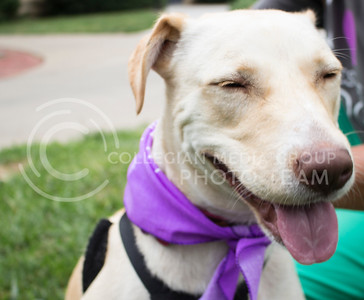 Honey, a dog up for adoption, poses for a photo during the Pet Away Stress event hosted by Counseling Services and Purple Power Animal Welfare Society in the Quad on Aug. 24, 2016. (Miranda Snyder   The Collegian)