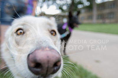 Esther, german shepard, noses up to the camera on Aug. 24, 2016 during the Pet Away Stress sponsered by Counselling Services. The event was held in the Quad. (Mason Swenson | The Collegian)